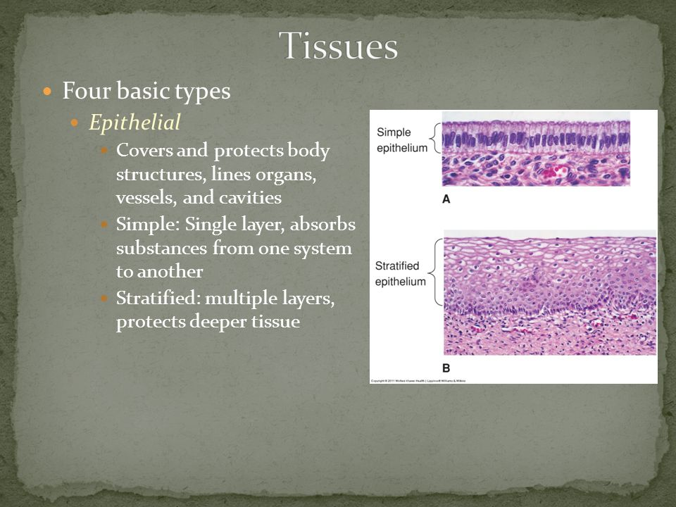 Four basic types Epithelial Covers and protects body structures, lines organs, vessels, and cavities Simple: Single layer, absorbs substances from one system to another Stratified: multiple layers, protects deeper tissue