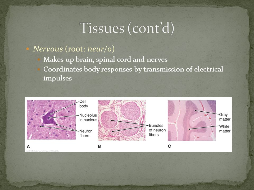 Nervous (root: neur/o) Makes up brain, spinal cord and nerves Coordinates body responses by transmission of electrical impulses