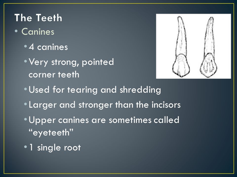 Canines 4 canines Very strong, pointed corner teeth Used for tearing and shredding Larger and stronger than the incisors Upper canines are sometimes called eyeteeth 1 single root