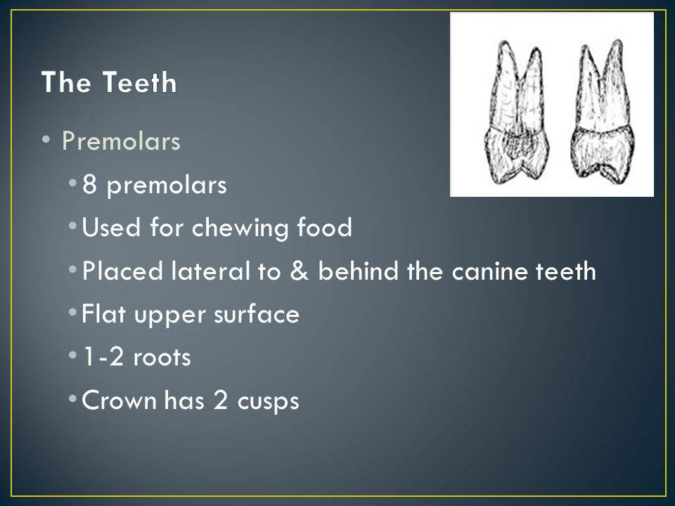 Premolars 8 premolars Used for chewing food Placed lateral to & behind the canine teeth Flat upper surface 1-2 roots Crown has 2 cusps