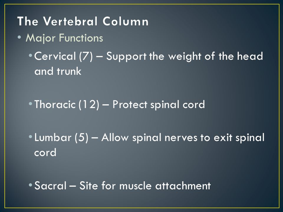 Major Functions Cervical (7) – Support the weight of the head and trunk Thoracic (12) – Protect spinal cord Lumbar (5) – Allow spinal nerves to exit spinal cord Sacral – Site for muscle attachment