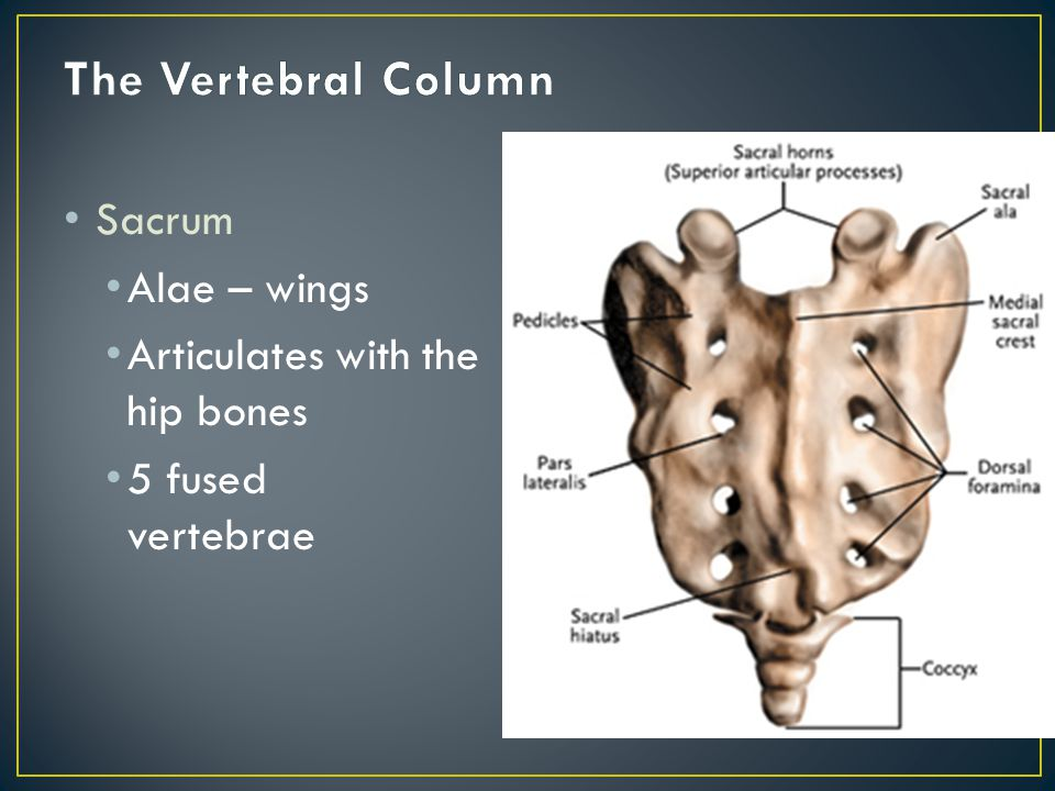 Coccyx Tailbone Usually 4 fused vertebrae Very reduced bodies No foramina or processes