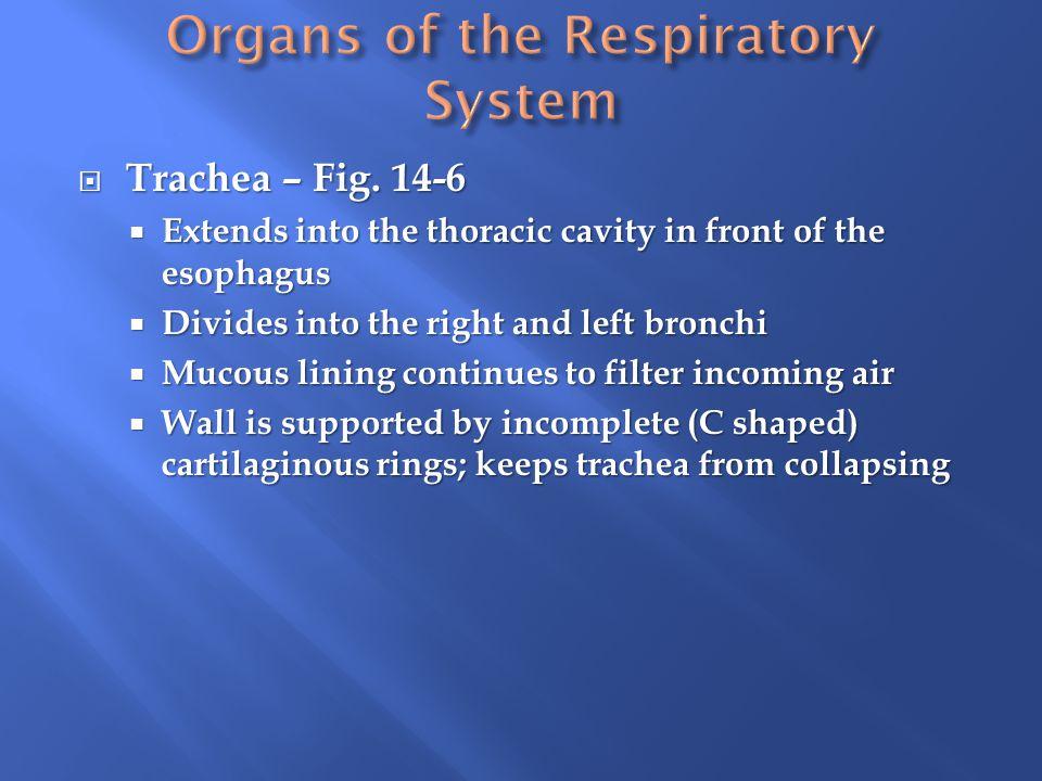  Trachea – Fig.