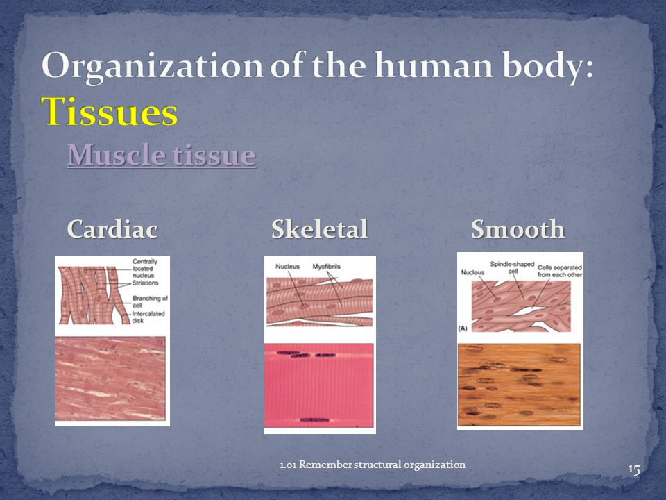 Muscle tissue contracts and moves a body part  Cardiac  striated, involuntary  contracts the heart  Skeletal  striated, voluntary  attached to the skeleton  Smooth nonstriated, involuntary provides movement in various body systems 14 1.01 Remember structural organization