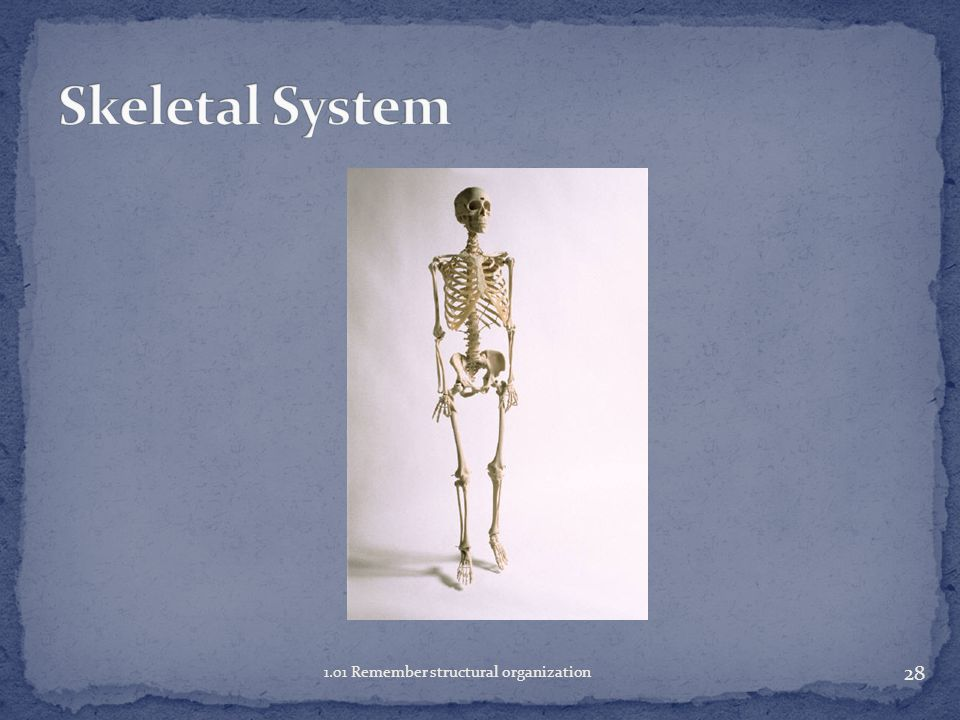 27 1.01 Remember structural organization Notes on Human Body Systems HO Textbook p 64 (Circulatory and Lymphatic in same system on chart, Nervous and Sensory same system, Urinary found under Excretory system)