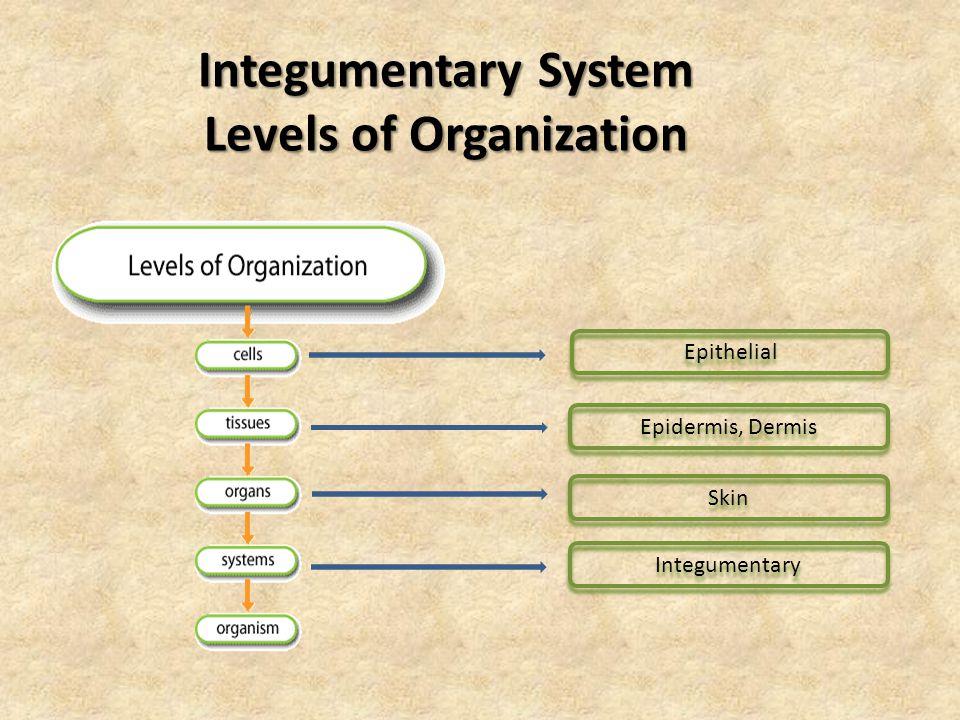 Integumentary System Levels of Organization Epidermis, Dermis Skin Integumentary Epithelial