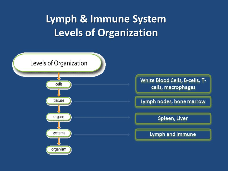 Lymph & Immune System Levels of Organization Lymph nodes, bone marrow Spleen, Liver Lymph and Immune White Blood Cells, B-cells, T- cells, macrophages