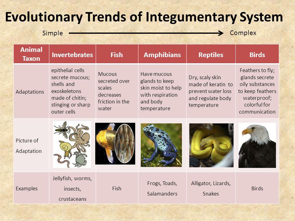 Evolutionary Trends of Integumentary System Animal Taxon InvertebratesFishAmphibiansReptilesBirds Adaptations epithelial cells secrete mucous; shells