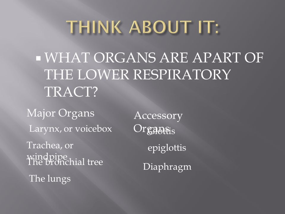  WHAT ORGANS ARE APART OF THE LOWER RESPIRATORY TRACT? Trachea, or windpipe The bronchial tree Diaphragm Major Organs Accessory Organs The lungs Lary