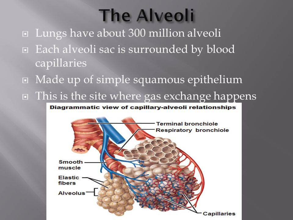  Lungs have about 300 million alveoli  Each alveoli sac is surrounded by blood capillaries  Made up of simple squamous epithelium  This is the sit