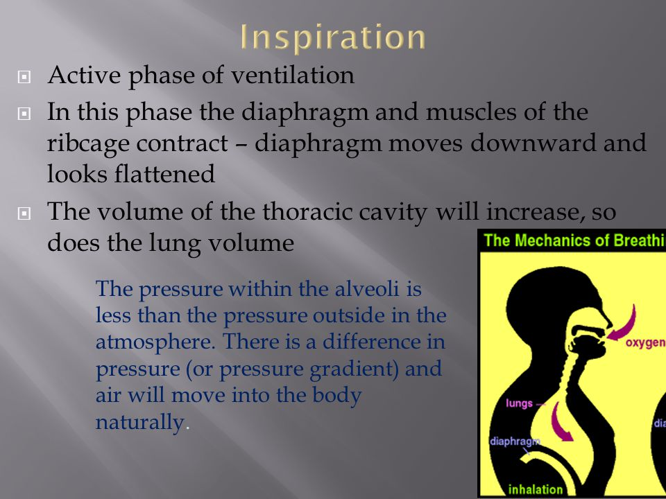  Active phase of ventilation  In this phase the diaphragm and muscles of the ribcage contract – diaphragm moves downward and looks flattened  The v