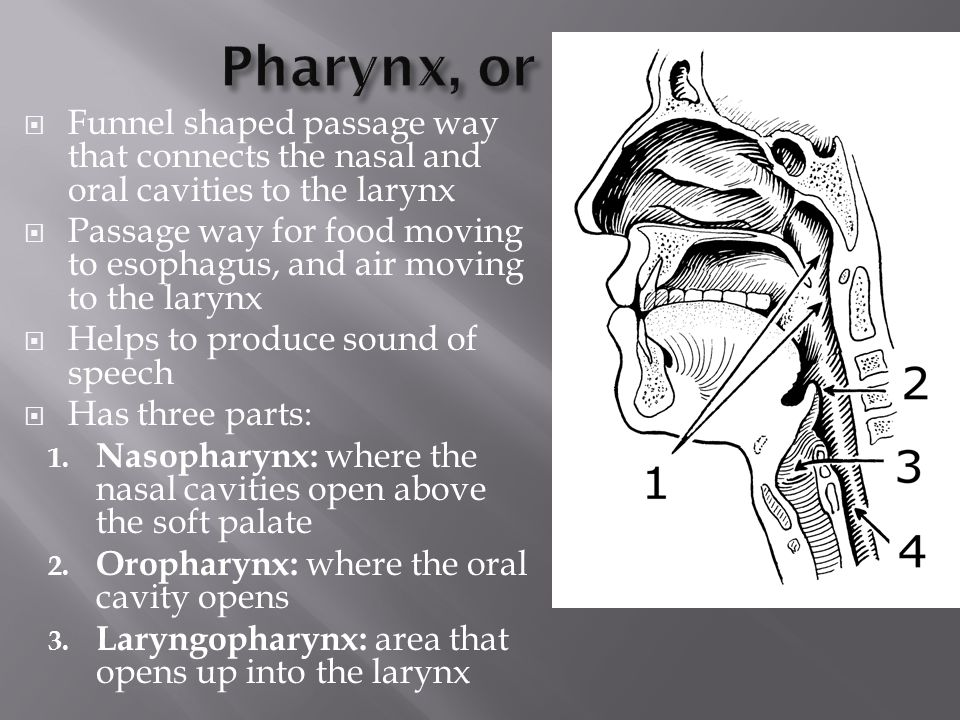  Funnel shaped passage way that connects the nasal and oral cavities to the larynx  Passage way for food moving to esophagus, and air moving to the