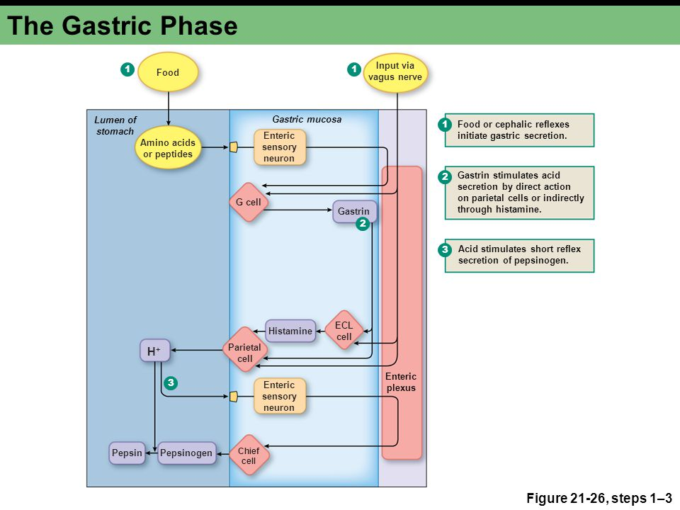 The Gastric Phase Figure 21-26, steps 1–3 Lumen of stomach Gastric mucosa Enteric plexus Chief cell Gastrin Amino acids or peptides Input via vagus ne