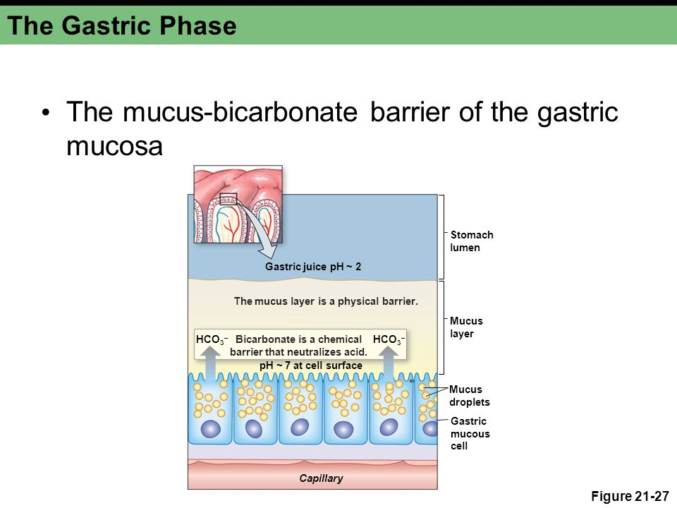 The Gastric Phase The mucus-bicarbonate barrier of the gastric mucosa Figure 21-27 Capillary Stomach lumen Gastric juice pH ~ 2 Mucus layer Mucus drop