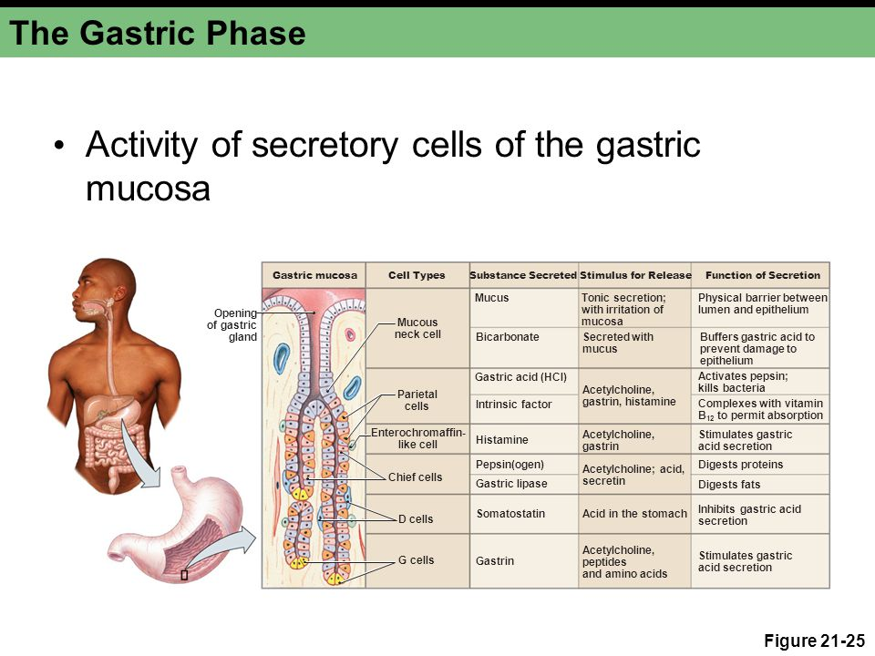 The Gastric Phase Activity of secretory cells of the gastric mucosa Figure 21-25 Gastric mucosa Opening of gastric gland Cell TypesSubstance SecretedS