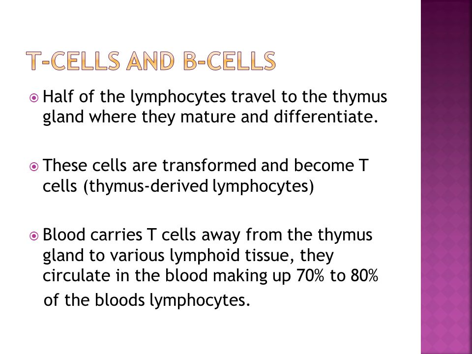  Half of the lymphocytes travel to the thymus gland where they mature and differentiate.