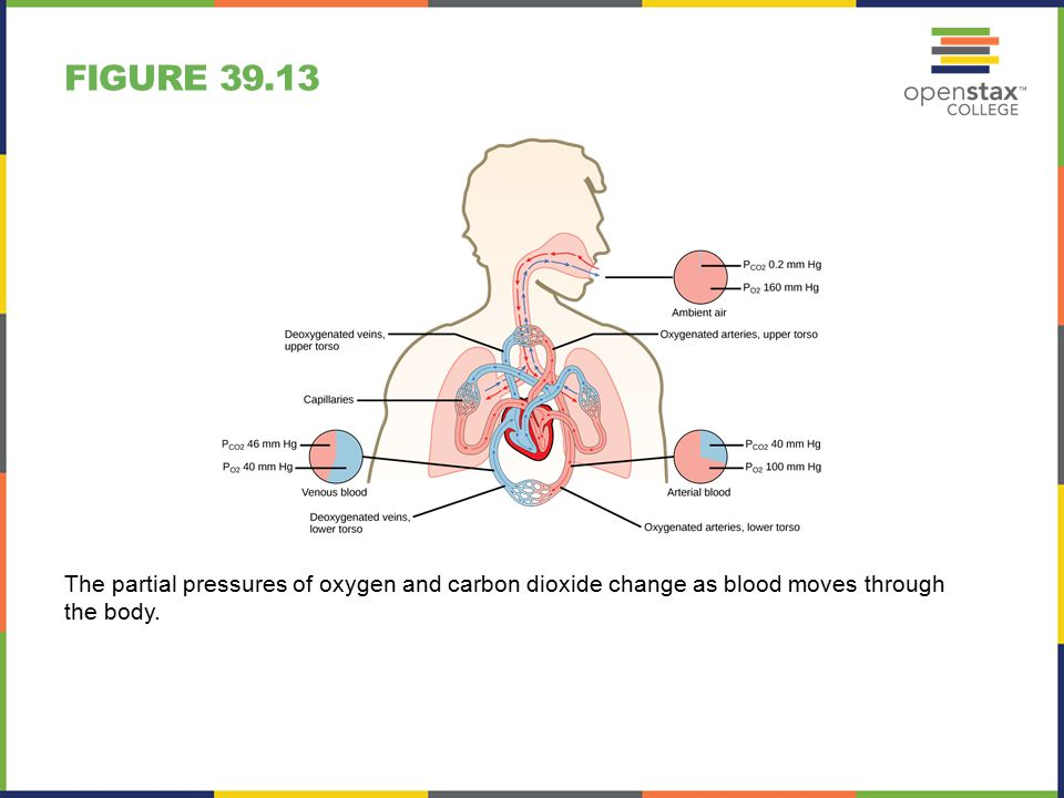 FIGURE 39.13 The partial pressures of oxygen and carbon dioxide change as blood moves through the body.