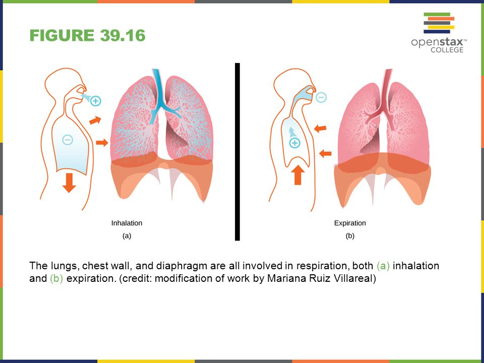 FIGURE 39.16 The lungs, chest wall, and diaphragm are all involved in respiration, both (a) inhalation and (b) expiration.