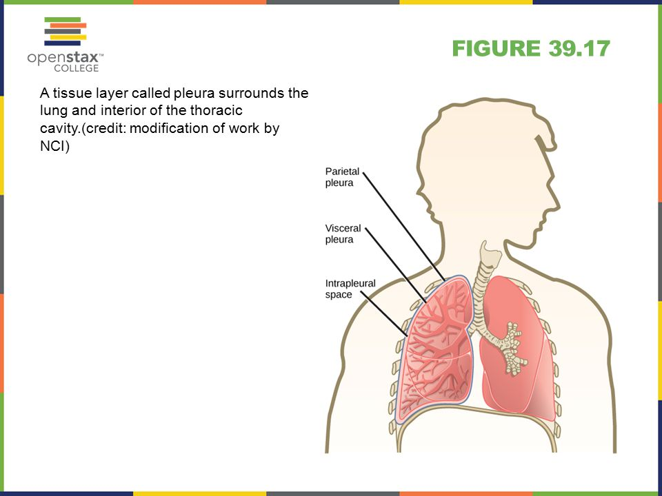 FIGURE 39.17 A tissue layer called pleura surrounds the lung and interior of the thoracic cavity.(credit: modification of work by NCI)