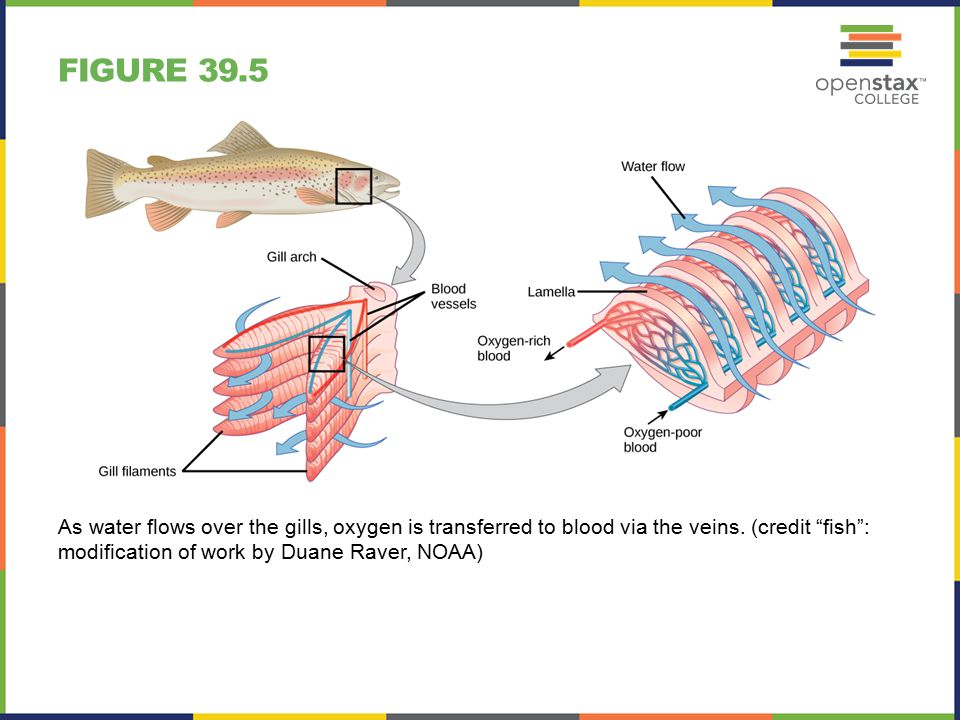 FIGURE 39.5 As water flows over the gills, oxygen is transferred to blood via the veins.