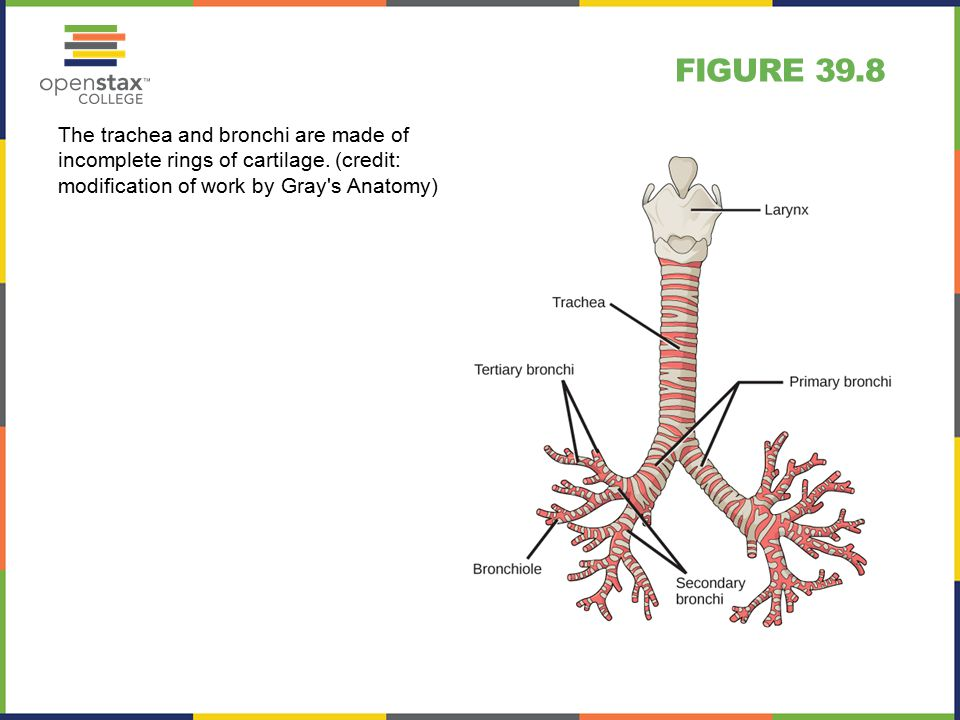 FIGURE 39.8 The trachea and bronchi are made of incomplete rings of cartilage.