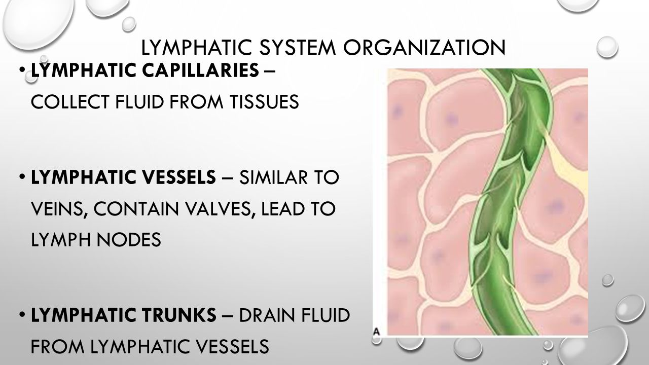 LYMPHATIC SYSTEM ORGANIZATION LYMPHATIC CAPILLARIES – COLLECT FLUID FROM TISSUES LYMPHATIC VESSELS – SIMILAR TO VEINS, CONTAIN VALVES, LEAD TO LYMPH N
