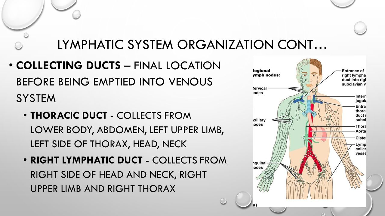 LYMPHATIC SYSTEM ORGANIZATION CONT… COLLECTING DUCTS – FINAL LOCATION BEFORE BEING EMPTIED INTO VENOUS SYSTEM THORACIC DUCT - COLLECTS FROM LOWER BODY