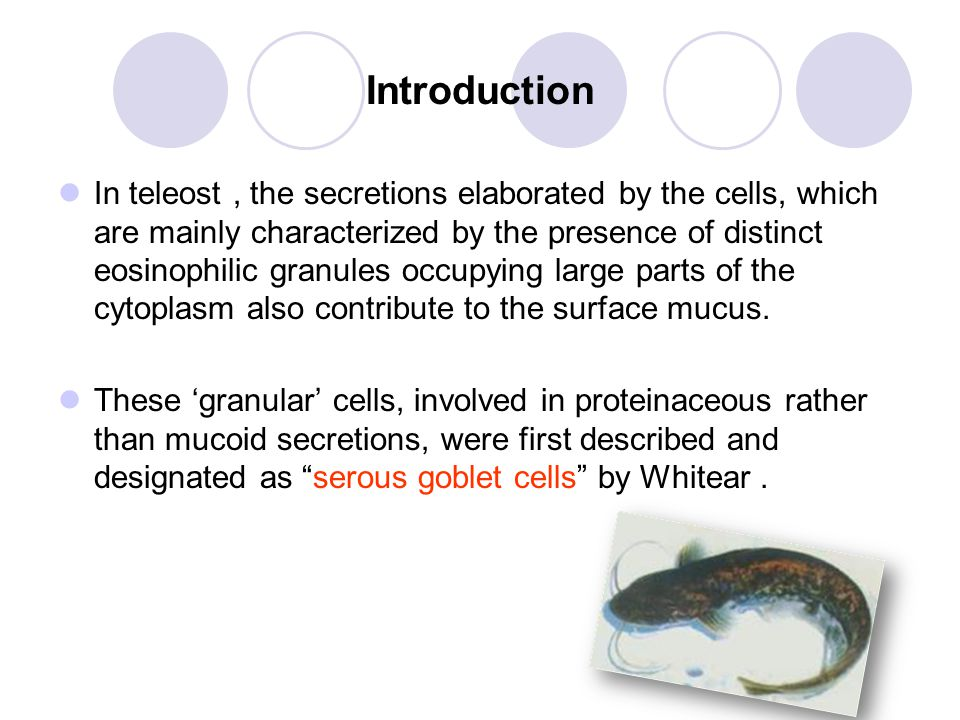 Introduction In teleost, the secretions elaborated by the cells, which are mainly characterized by the presence of distinct eosinophilic granules occupying large parts of the cytoplasm also contribute to the surface mucus.