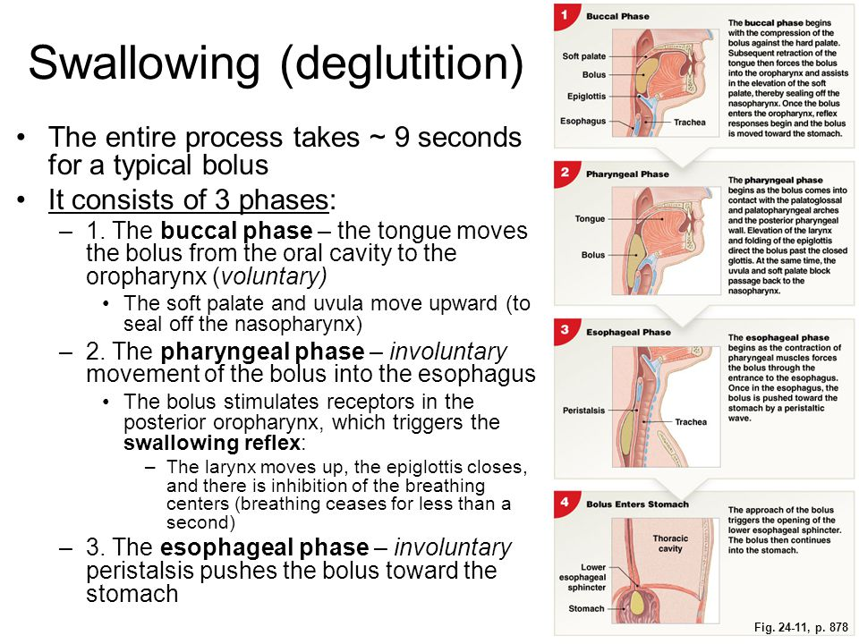 Fig. 24-11, p. 878 Swallowing (deglutition) The entire process takes ~ 9 seconds for a typical bolus It consists of 3 phases: –1. The buccal phase – t