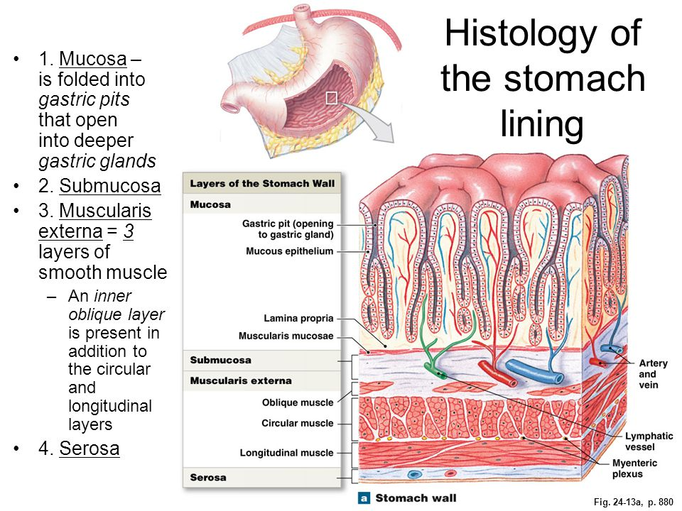 Fig. 24-13a, p. 880 Histology of the stomach lining 1. Mucosa – is folded into gastric pits that open into deeper gastric glands 2. Submucosa 3. Muscu