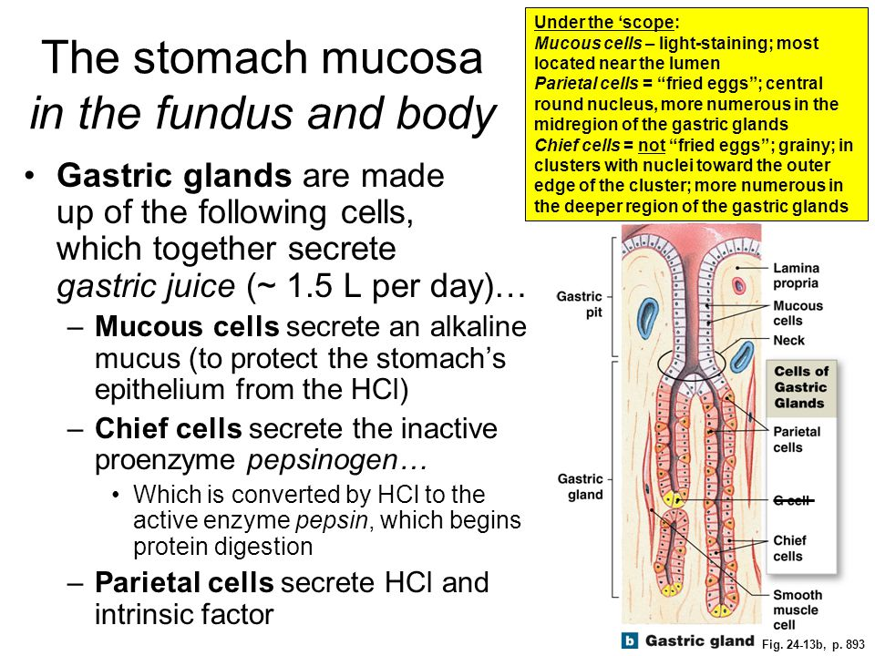 Fig. 24-13b, p. 893 The stomach mucosa in the fundus and body Gastric glands are made up of the following cells, which together secrete gastric juice