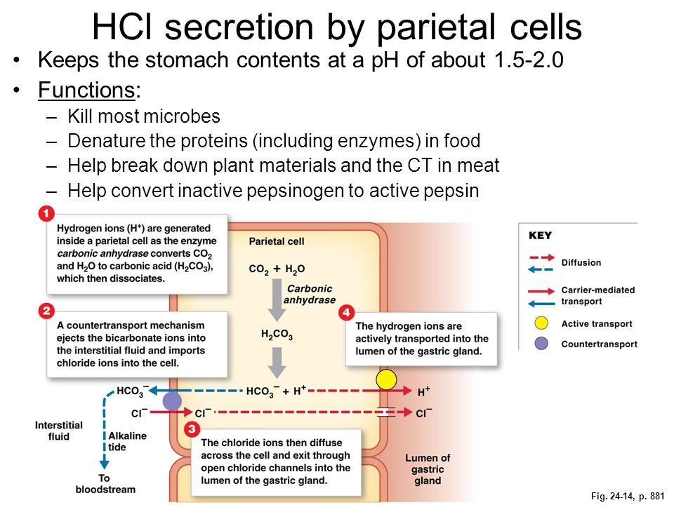 Fig. 24-14, p. 881 HCl secretion by parietal cells Keeps the stomach contents at a pH of about 1.5-2.0 Functions: –Kill most microbes –Denature the pr