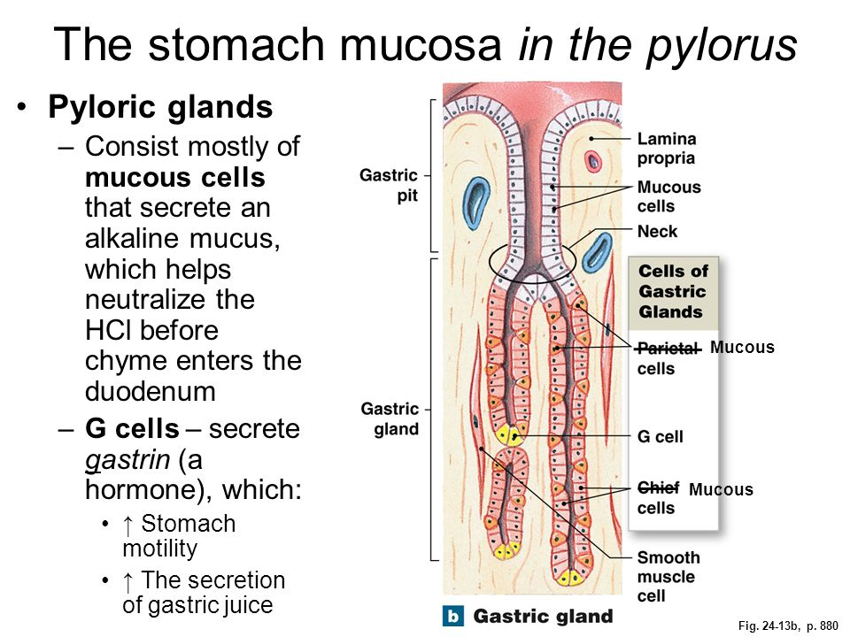 Fig. 24-13b, p. 880 The stomach mucosa in the pylorus Pyloric glands –Consist mostly of mucous cells that secrete an alkaline mucus, which helps neutr