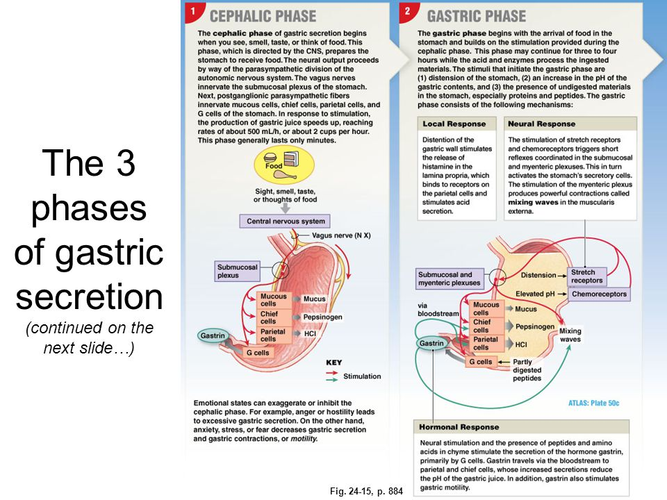The 3 phases of gastric secretion (continued on the next slide…) Fig. 24-15, p. 884