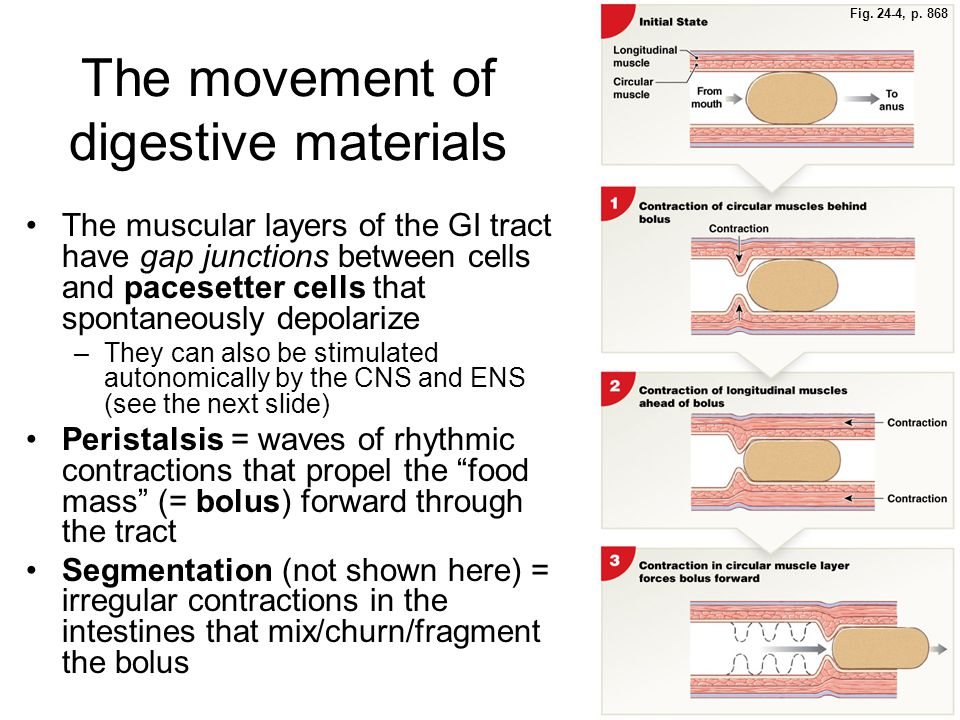Fig. 24-4, p. 868 The movement of digestive materials The muscular layers of the GI tract have gap junctions between cells and pacesetter cells that s