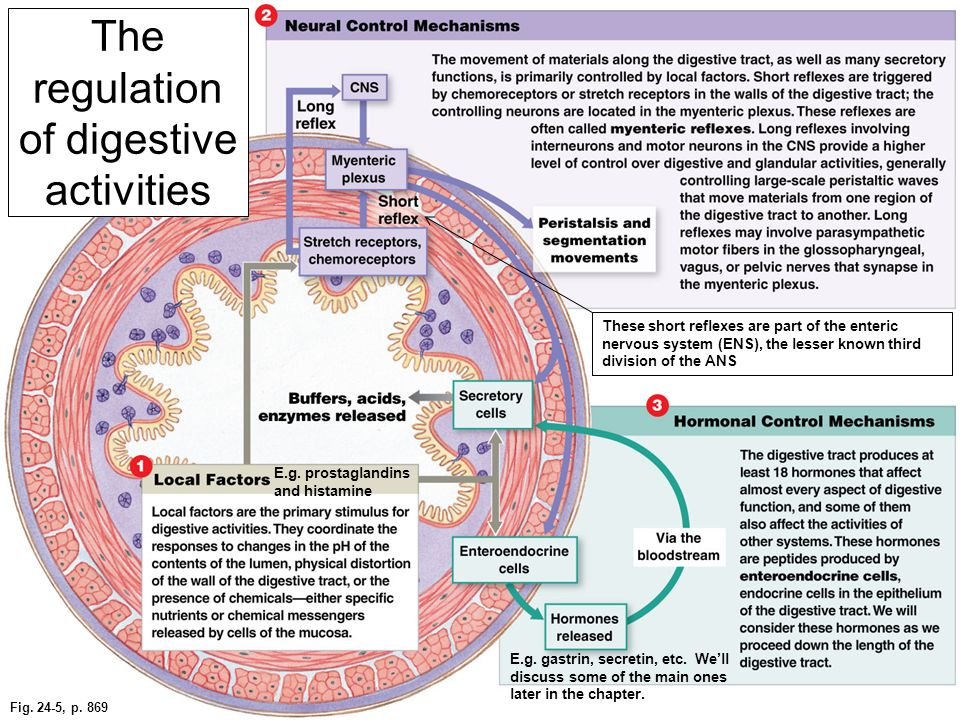 Fig. 24-5, p. 869 The regulation of digestive activities E.g. gastrin, secretin, etc. We'll discuss some of the main ones later in the chapter. These