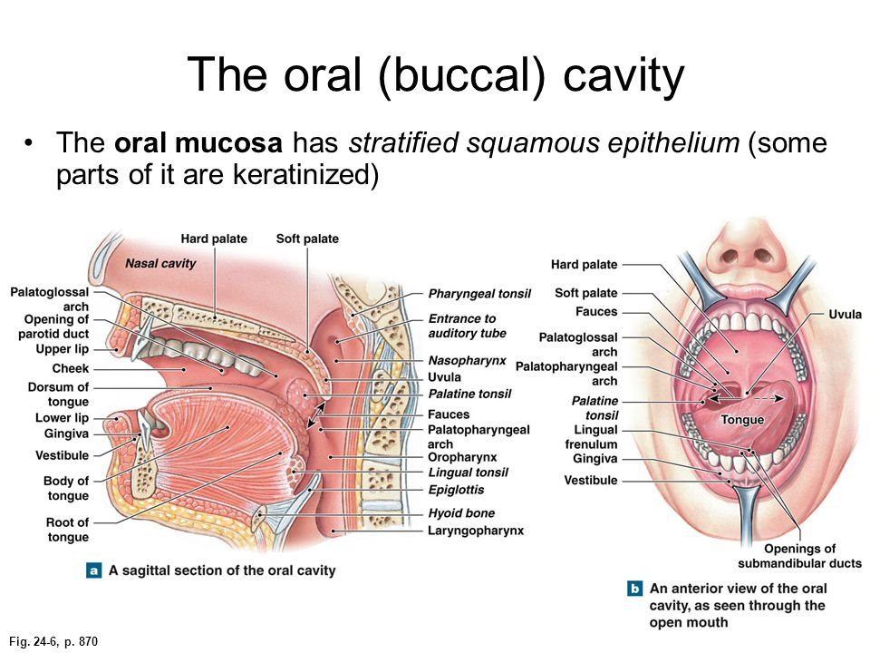Fig. 24-6, p. 870 The oral (buccal) cavity The oral mucosa has stratified squamous epithelium (some parts of it are keratinized)