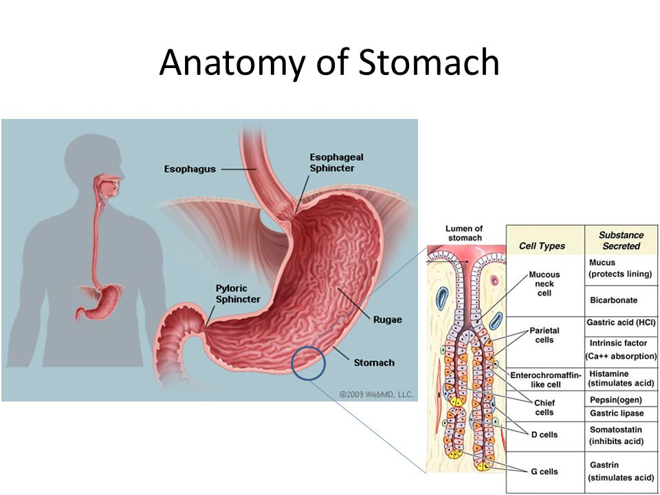 Anatomy of Stomach