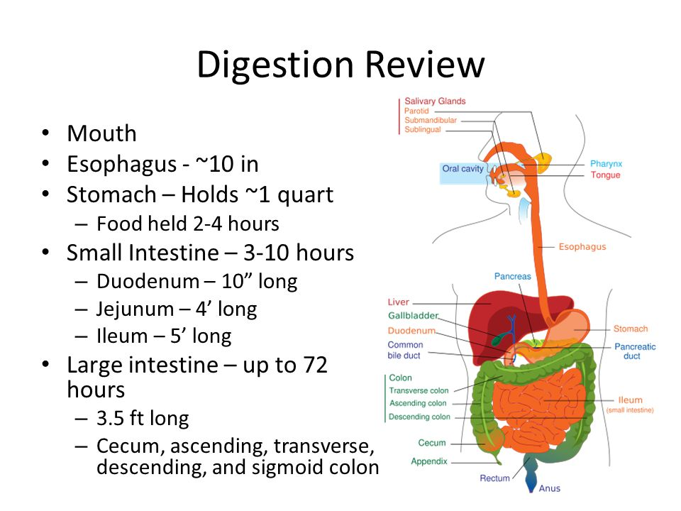 Digestion Review Mouth Esophagus - ~10 in Stomach – Holds ~1 quart – Food held 2-4 hours Small Intestine – 3-10 hours – Duodenum – 10 long – Jejunum – 4' long – Ileum – 5' long Large intestine – up to 72 hours – 3.5 ft long – Cecum, ascending, transverse, descending, and sigmoid colon