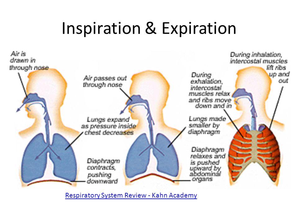 Inspiration & Expiration Respiratory System Review - Kahn Academy