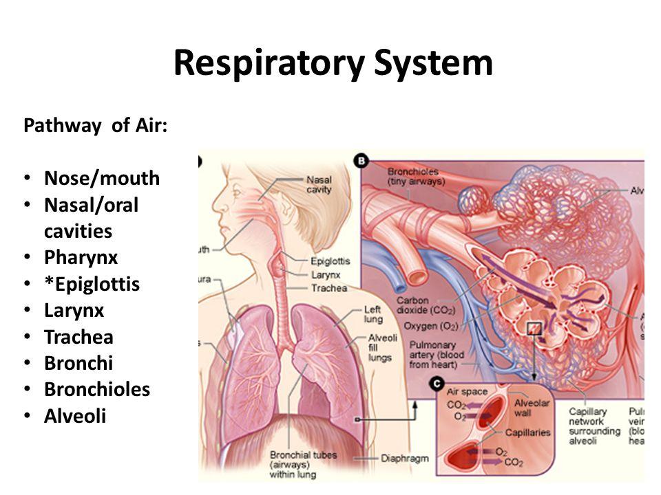 Respiratory System Pathway of Air: Nose/mouth Nasal/oral cavities Pharynx *Epiglottis Larynx Trachea Bronchi Bronchioles Alveoli
