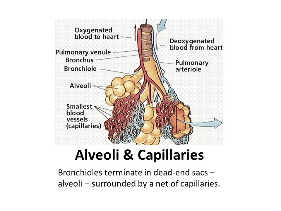 Alveoli & Capillaries Bronchioles terminate in dead-end sacs – alveoli – surrounded by a net of capillaries.