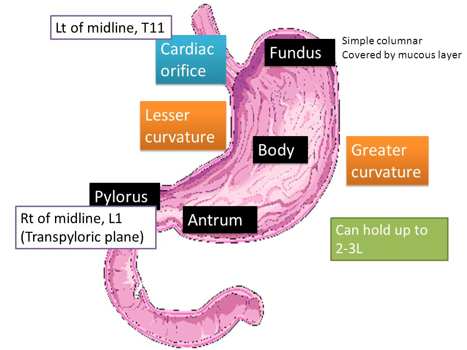 Fundus Greater curvature Lesser curvature Body Antrum Pylorus Cardiac orifice Lt of midline, T11 Rt of midline, L1 (Transpyloric plane) Can hold up to