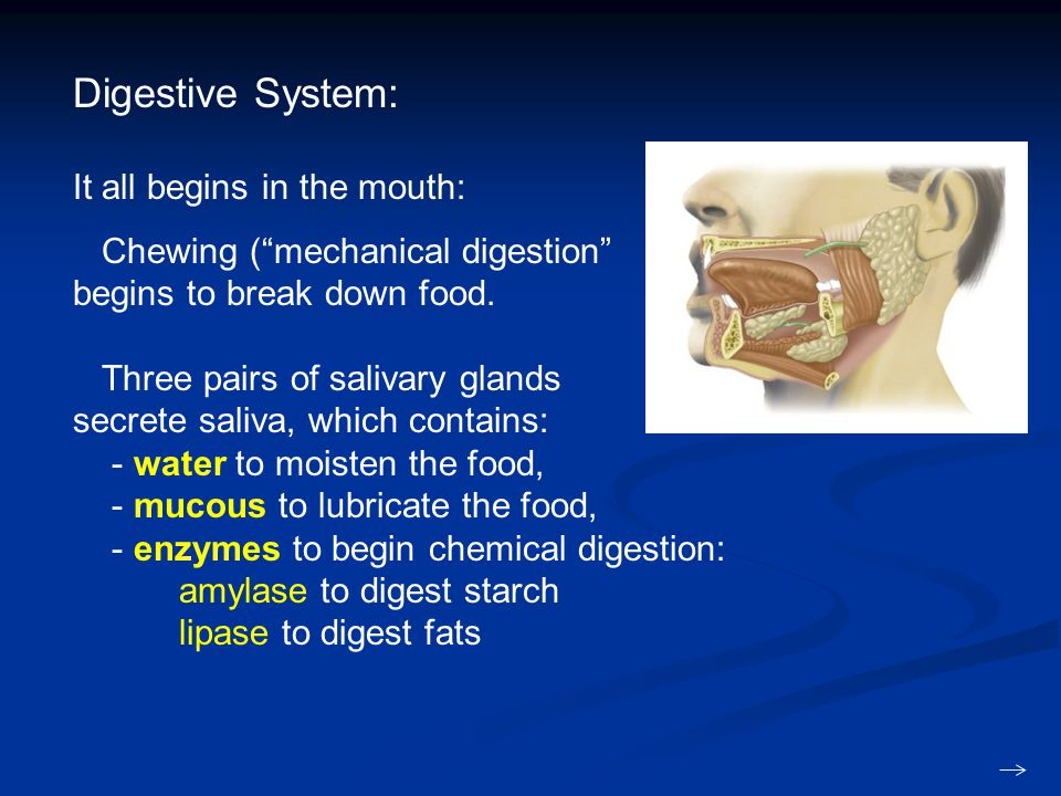 Digestive System: It all begins in the mouth: Chewing ( mechanical digestion begins to break down food.