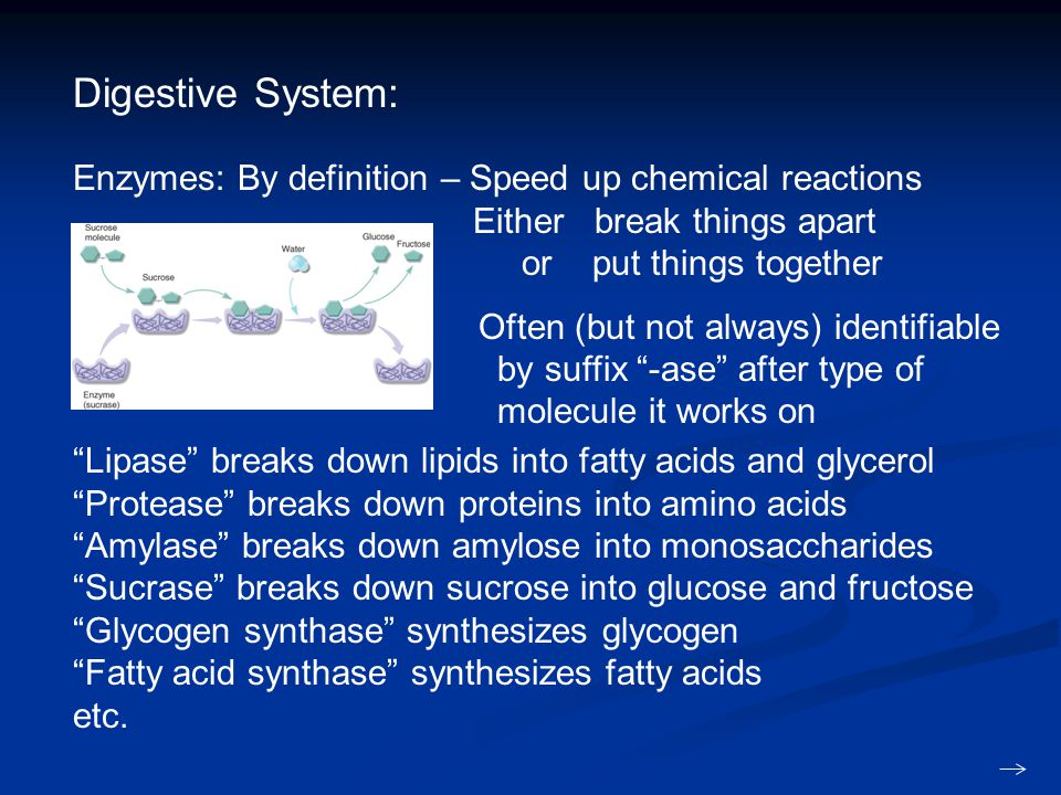 Digestive System: Enzymes: By definition – Speed up chemical reactions Either break things apart or put things together Often (but not always) identifiable by suffix -ase after type of molecule it works on Lipase breaks down lipids into fatty acids and glycerol Protease breaks down proteins into amino acids Amylase breaks down amylose into monosaccharides Sucrase breaks down sucrose into glucose and fructose Glycogen synthase synthesizes glycogen Fatty acid synthase synthesizes fatty acids etc.