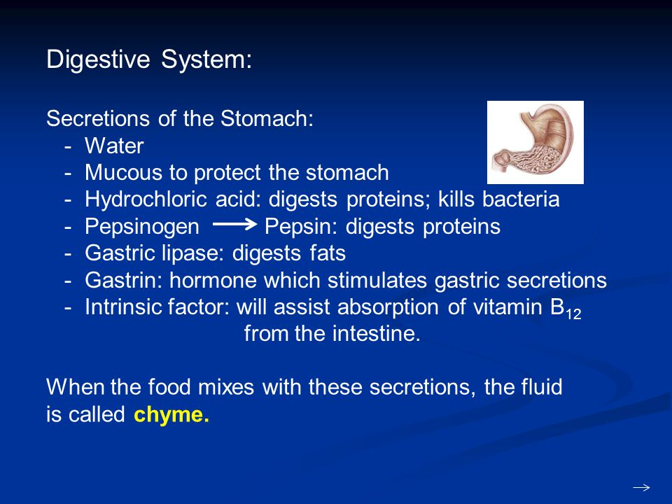 Digestive System: Secretions of the Stomach: - Water - Mucous to protect the stomach - Hydrochloric acid: digests proteins; kills bacteria - Pepsinogen Pepsin: digests proteins - Gastric lipase: digests fats - Gastrin: hormone which stimulates gastric secretions - Intrinsic factor: will assist absorption of vitamin B 12 from the intestine.