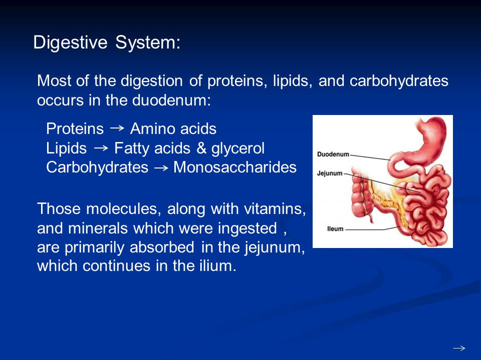 Digestive System: Most of the digestion of proteins, lipids, and carbohydrates occurs in the duodenum: Proteins Amino acids Lipids Fatty acids & glycerol Carbohydrates Monosaccharides Those molecules, along with vitamins, and minerals which were ingested, are primarily absorbed in the jejunum, which continues in the ilium.
