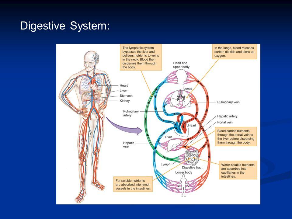 Digestive System: