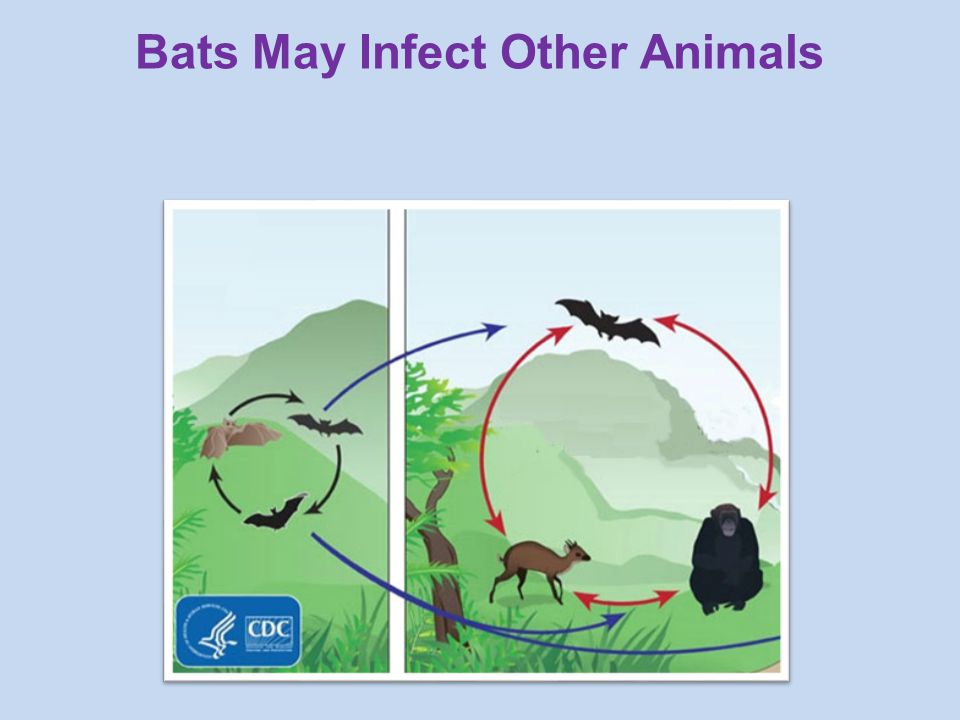 Bats May Infect Other Animals