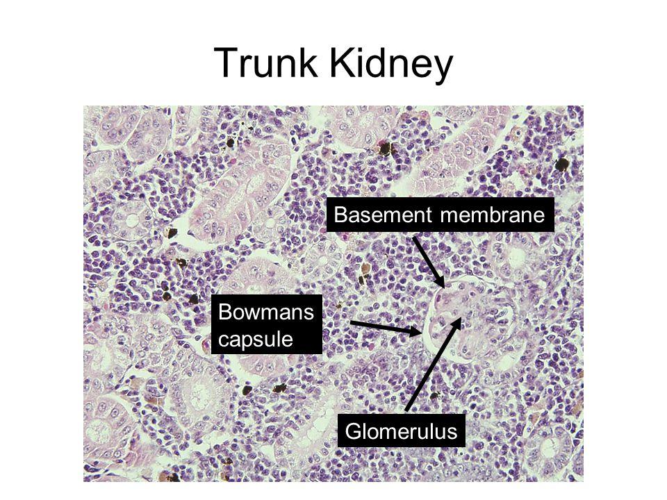 Glomerulus Basement membrane Bowmans capsule Trunk Kidney